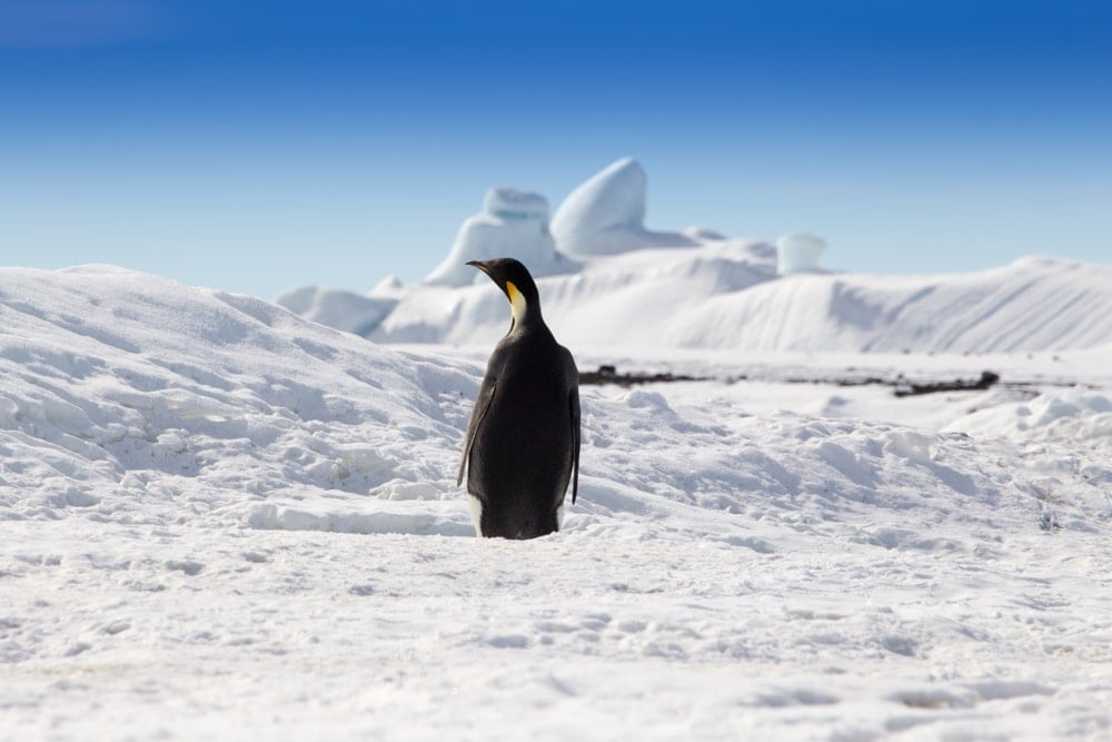 Back view of a Penguin in cold Antarctica desert