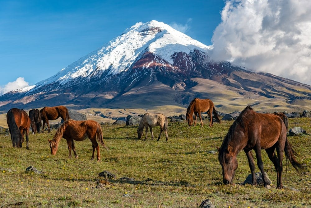 Wild horses in the Cotopaxi Mountain National Park