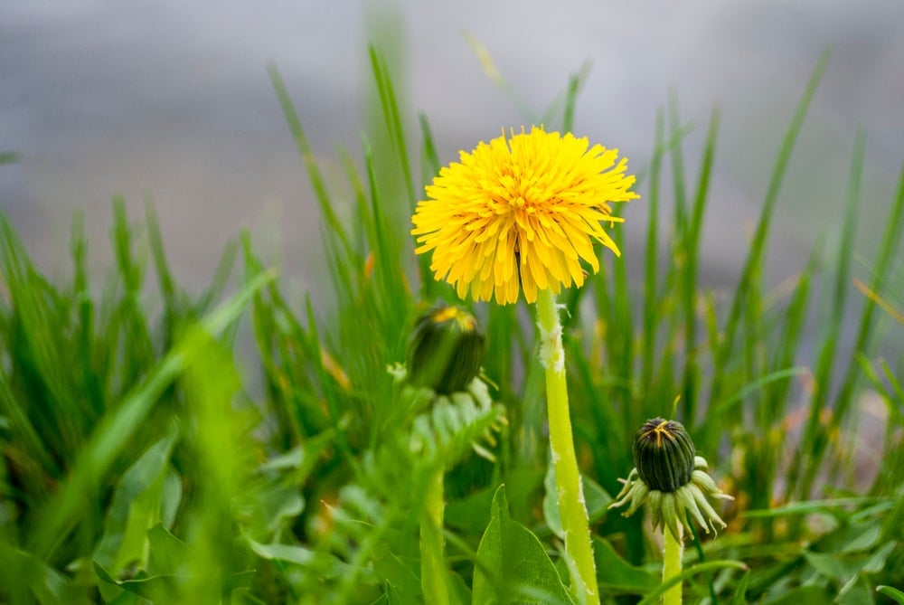 Close up picture of dandelions in the appalachian trail