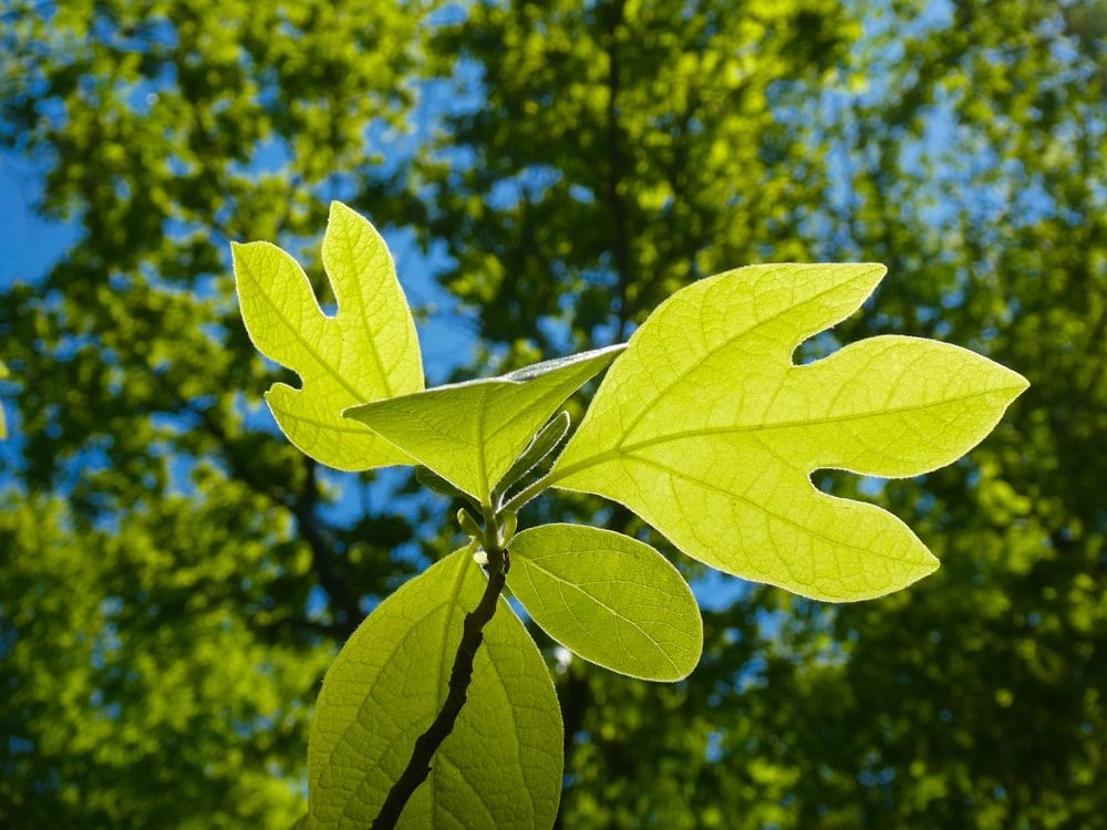 Close up picture of Sassafras in the appalachian trail