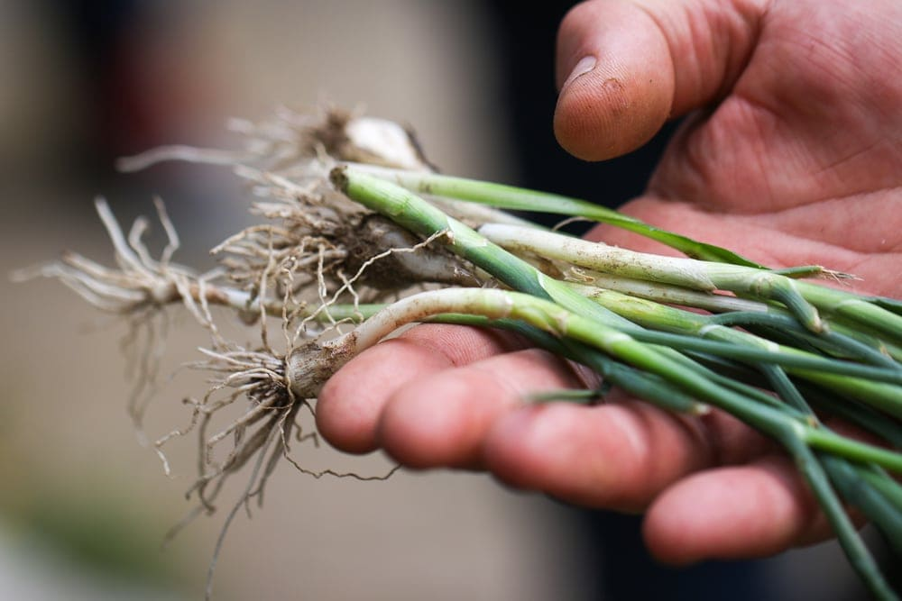 A hand holding a bunch of scallions found in appalachian trail