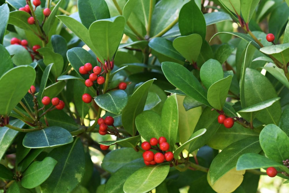 Close up picture of teaberries in the appalachian trail