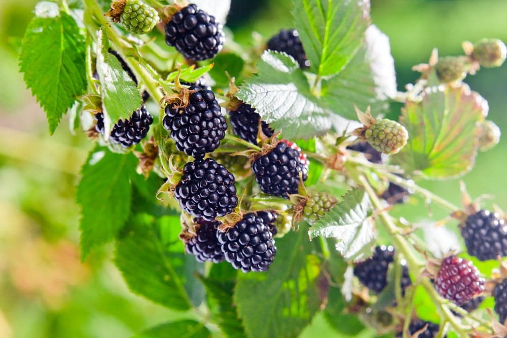 Close up picture of blackberries in the appalachian trail