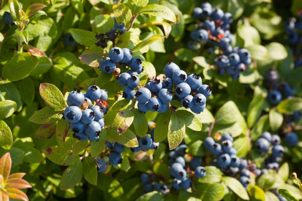 Close up picture of blueberries in the appalachian trail