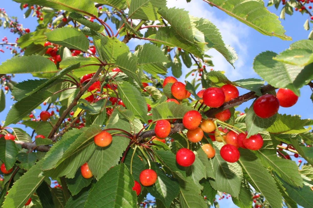 Close up picture of cherries from its tree in the appalachian trail