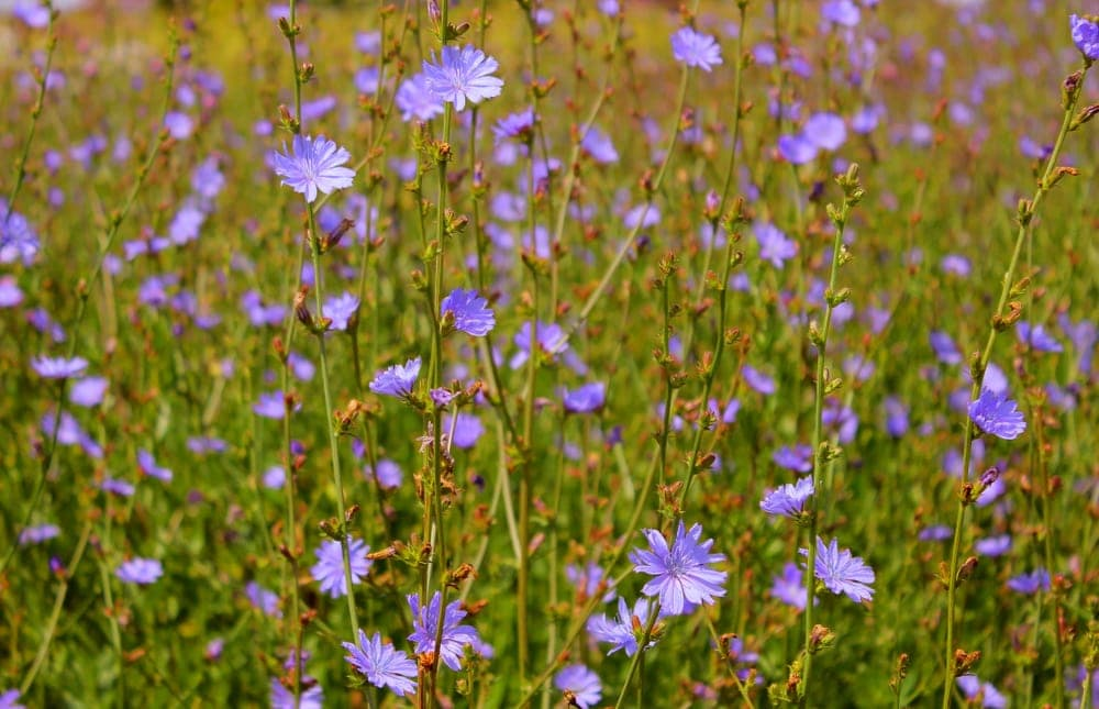 Close up picture of chicory in the appalachian trail