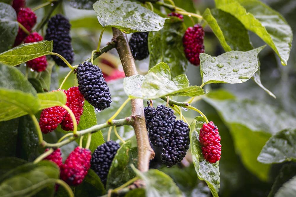 Close up picture of mulberries in the appalachian trail