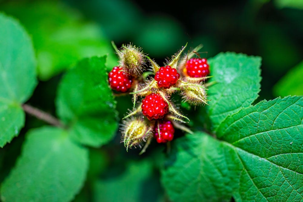 Close up picture of wineberries and its leaves in the appalachian trail