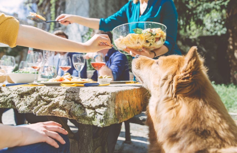 Dog looking at the food while camping