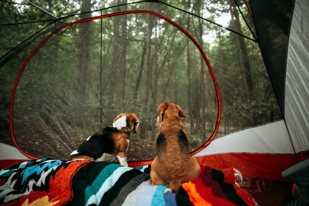 Dogs looking at the trees from inside a camping tent