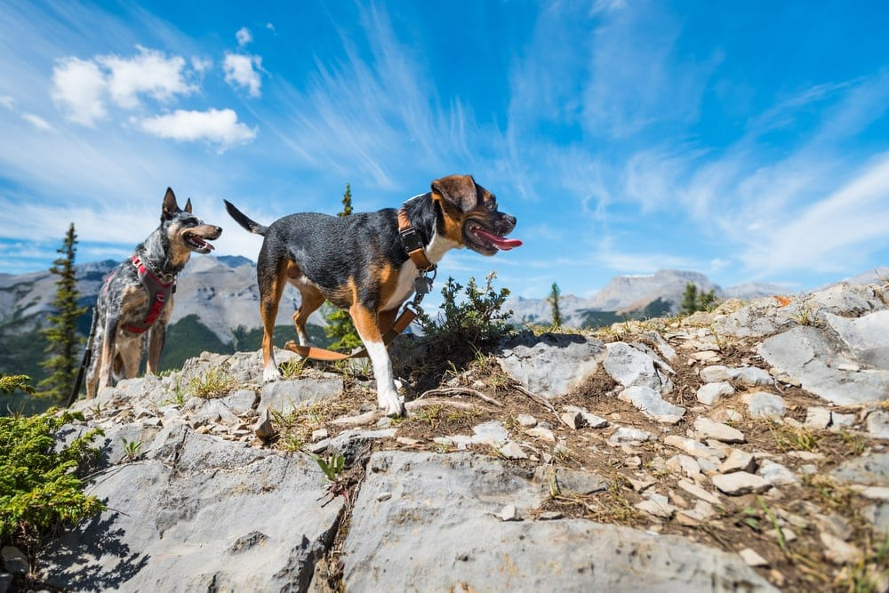 Two dogs walking on the mountain