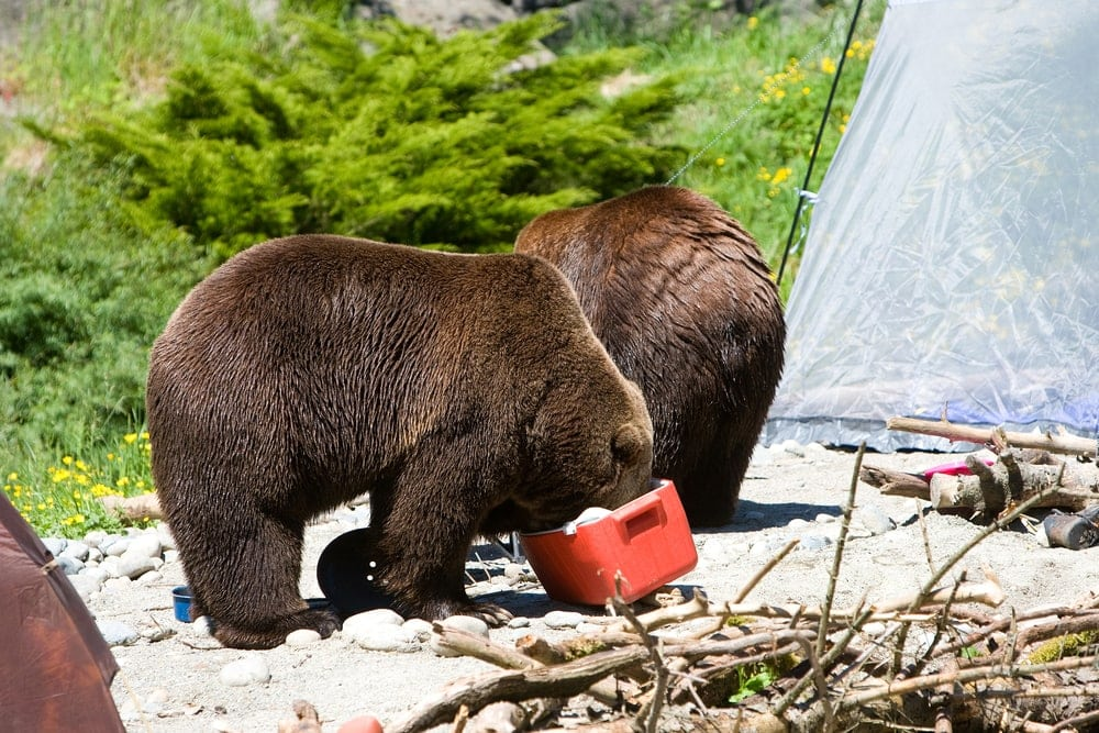 Grizzly bears eating the food in a camping cooler