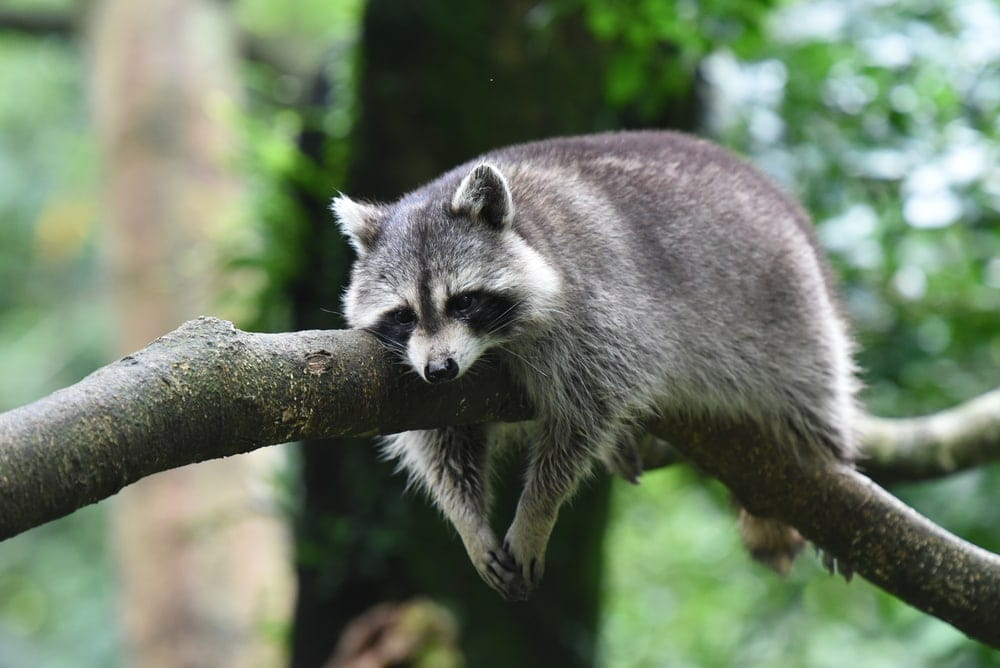 A raccoon resting on a tree branch