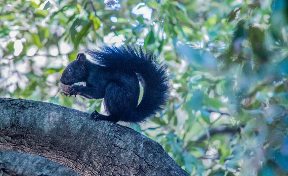 A black squirrel eating on a tree