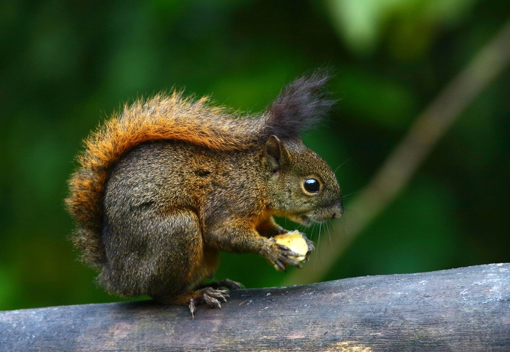 Central American dwarf squirrel holding its food