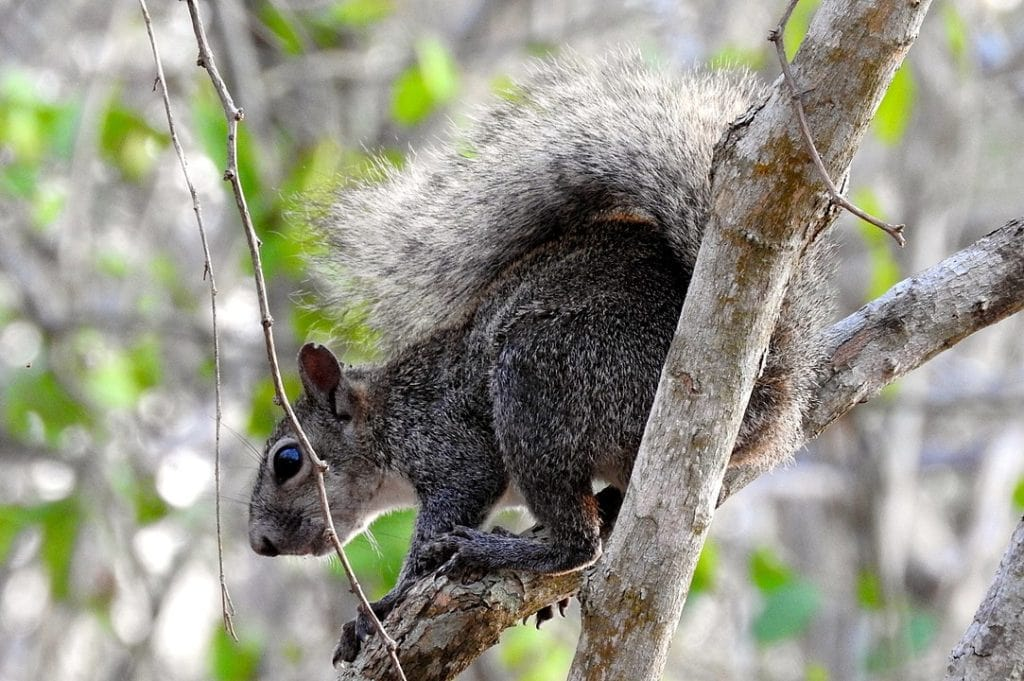 Pacific Grey Squirrel