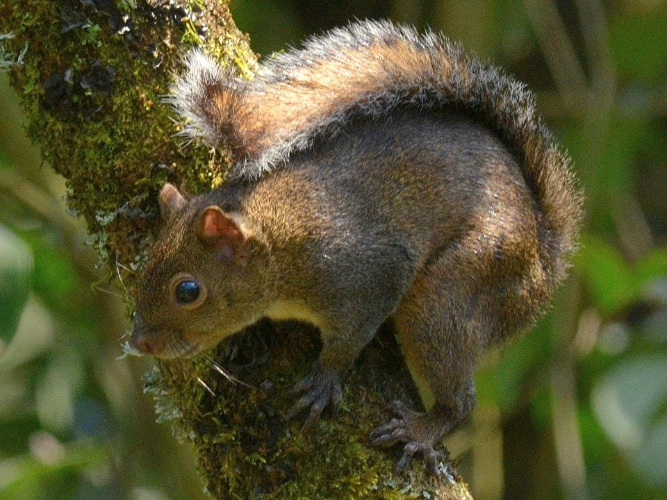 photo of Deppe's squirrel
