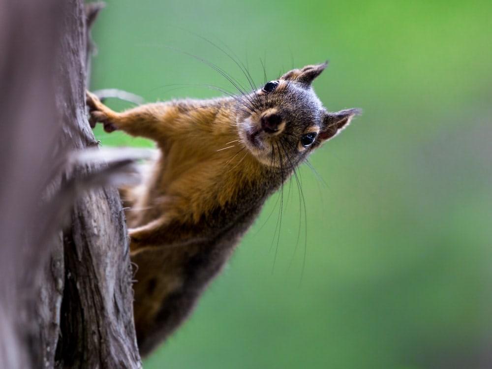 Douglas squirrel looking curious