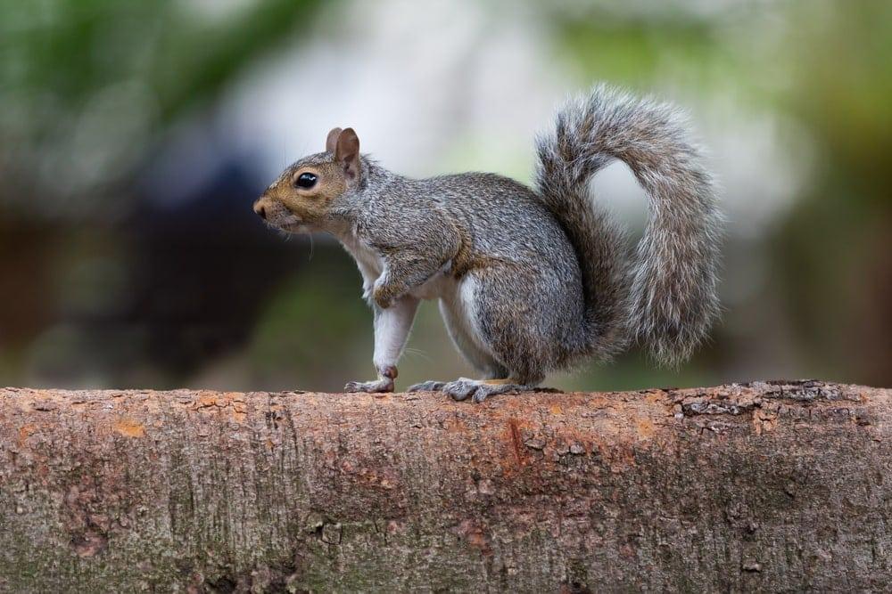 Eastern grey squirrel on a tree