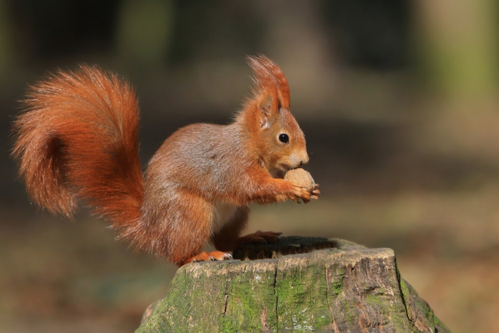 Cute red squirrel sitting on the stump with a nut
