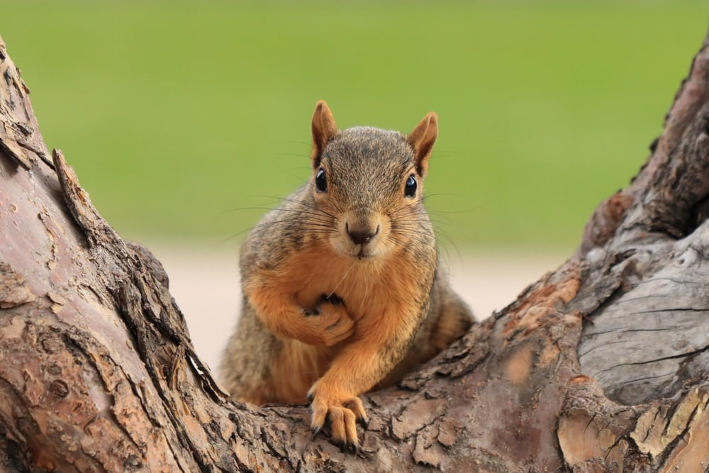 Fox squirrel sitting on branch isolated on a tree holding a nut on chest