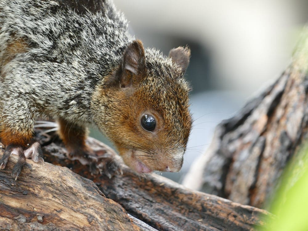 A guayaquil squirrel cose up