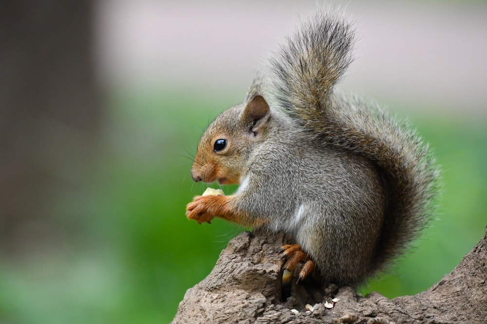 A japanese squirrel holding its food