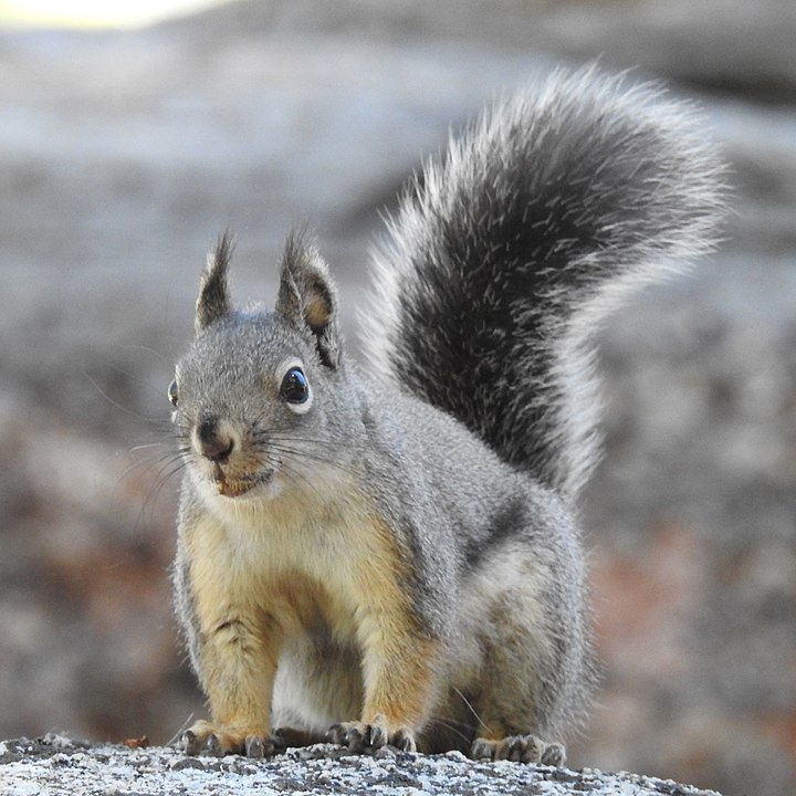 Mearns's squirrel portrait