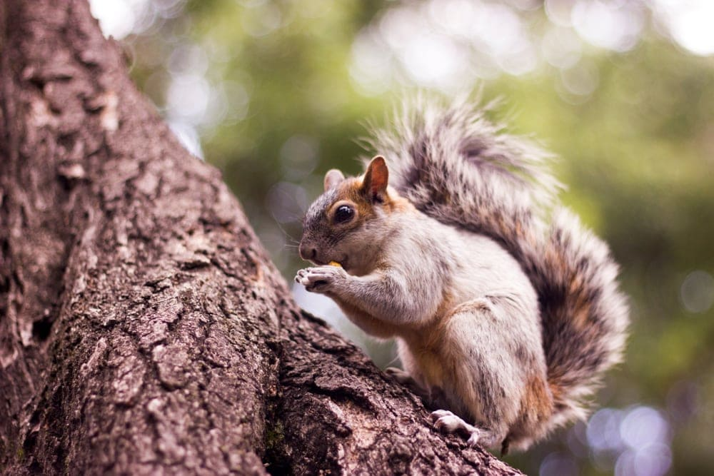 A mexican gray squirrel eating on a tree