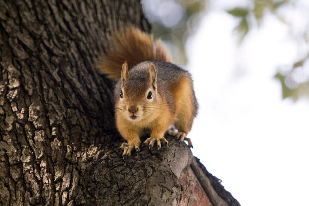 Caucasian squirrel on a tree trunk