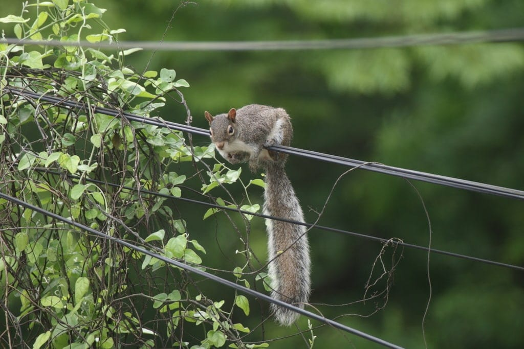 Peters's squirrel hanging on a tower wires