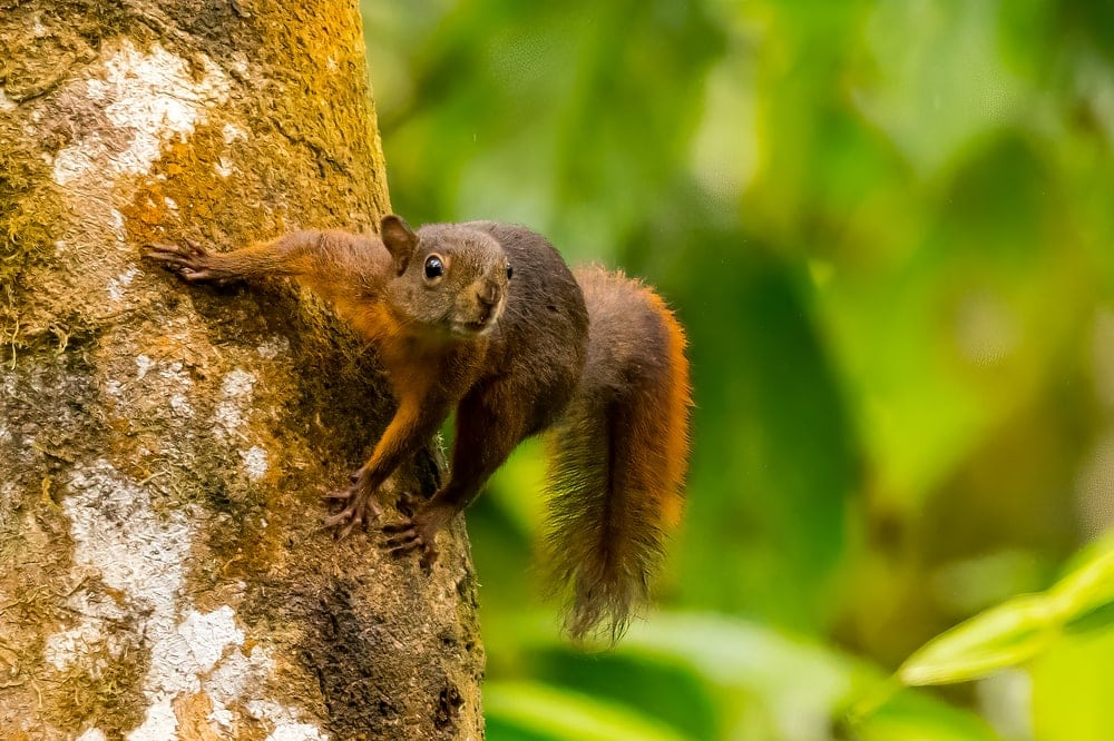 Red-tailed squirrel on a tree