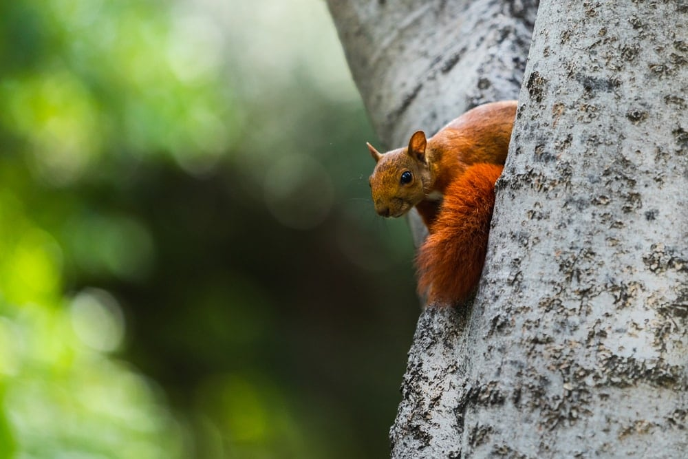 Southern red squirrel on a tree