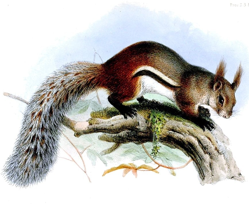 A drawing portrait of tufted ground squirrel