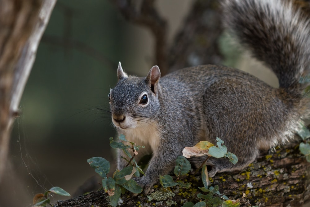 Western gray squirrel on the tree