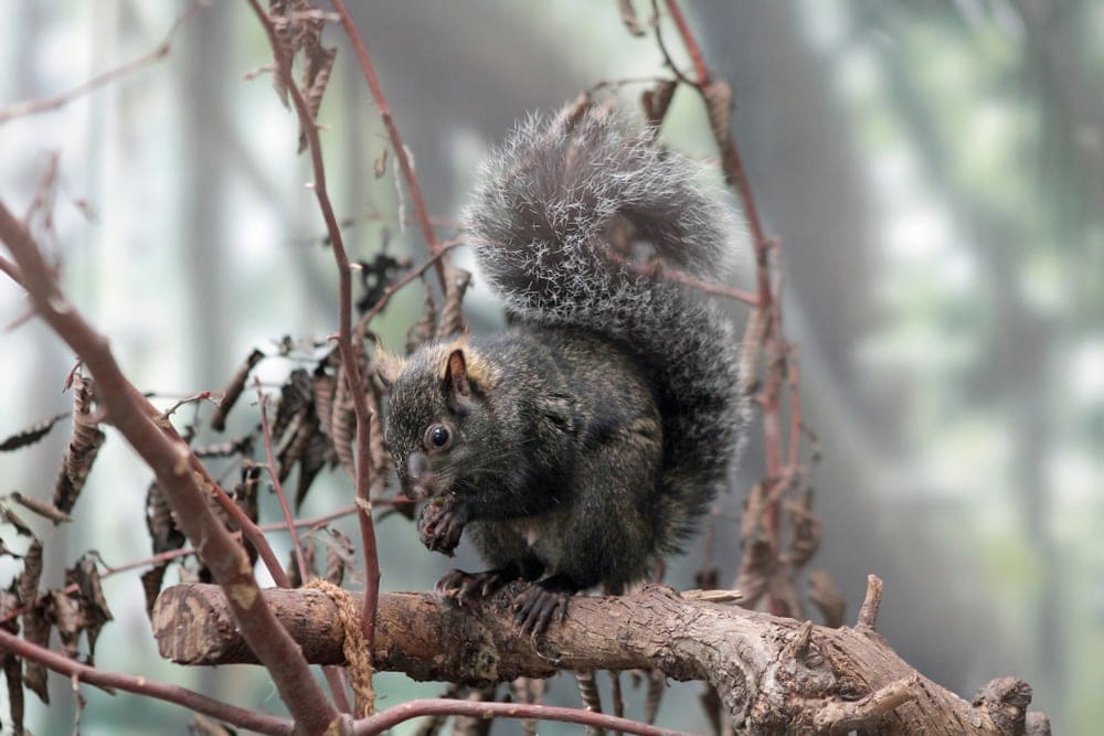 A yucatan squirrel on a tree branch