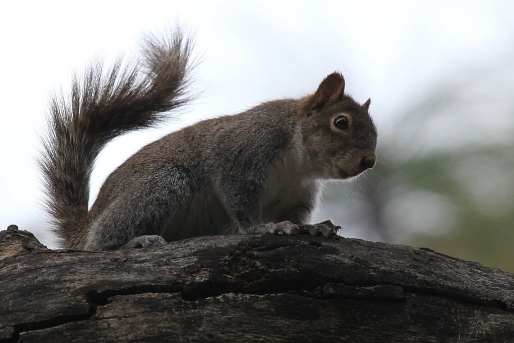 Tree Squirrel on a branch