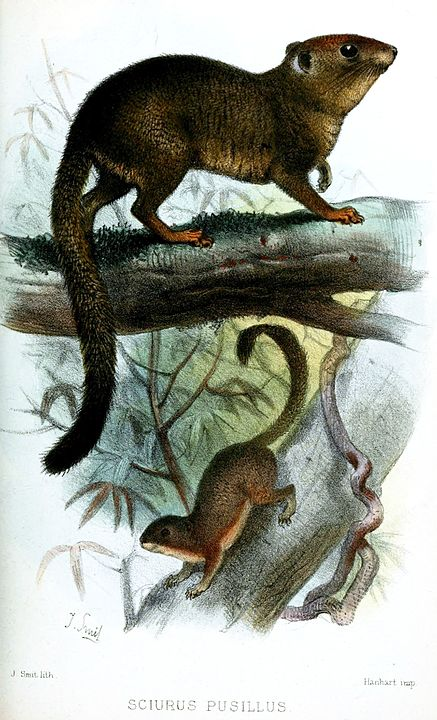 A neotropical pygmy squirrel drawing
