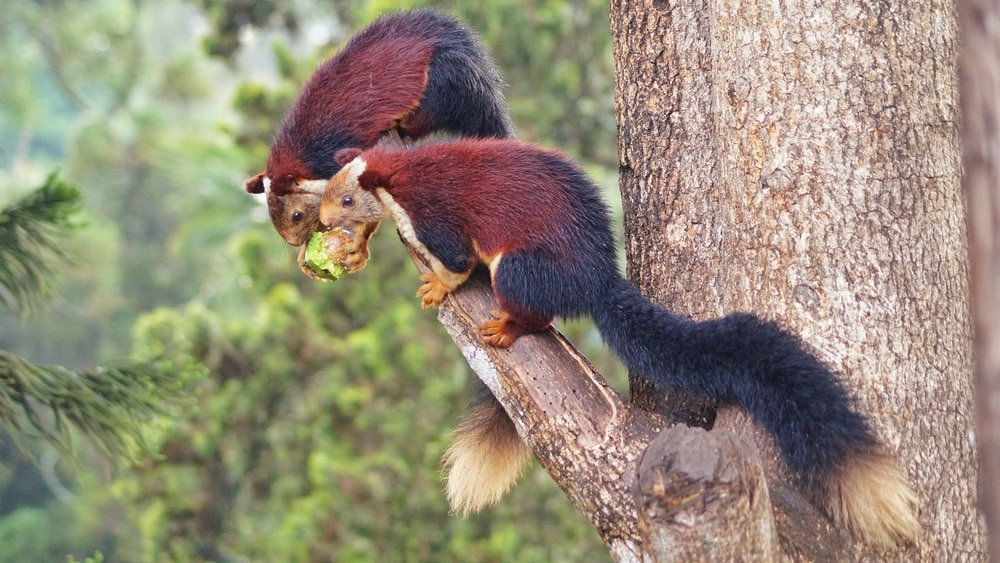An oriental giant squirrels eating on the edge of tree branch
