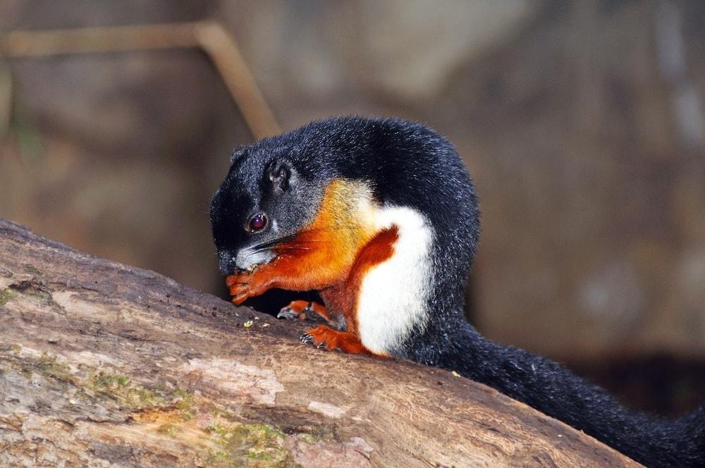 Beautiful squirrels (Callosciurinae) eating on a tree