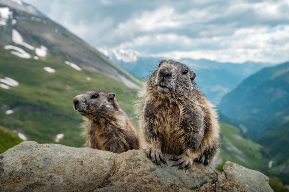 Two ground squirrels on a rock with mountain background