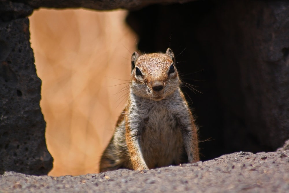 Angry looking ground squirrel