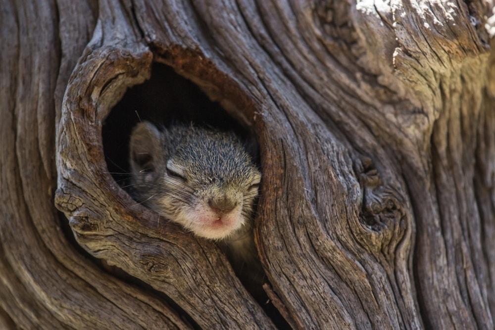 A tree dwelling squirrel inside a tree hole