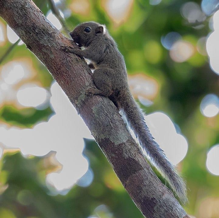 Picture of an Amazon dwarf squirrel (Microsciurus flaviventer)