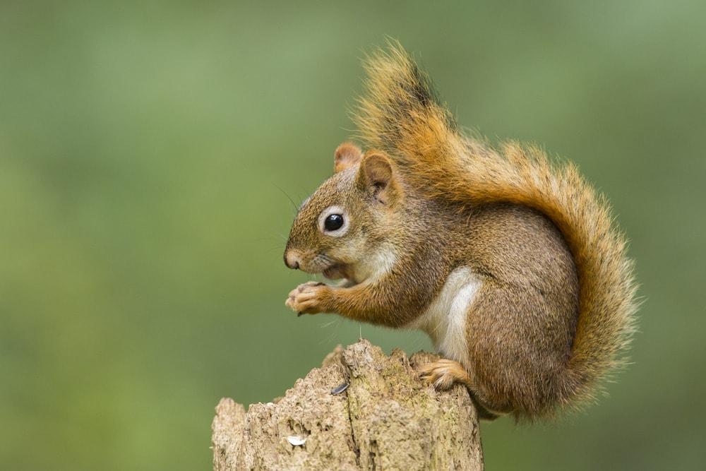 Picture of an American red squirrel (Tamiasciurus hudsonicus)