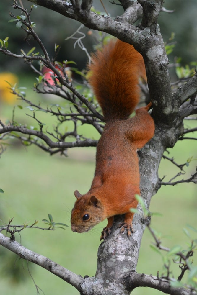 Andean Squirrel on a tree