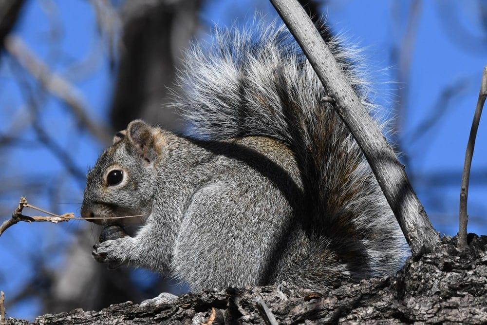 Arizona Grey Squirrel holding its food