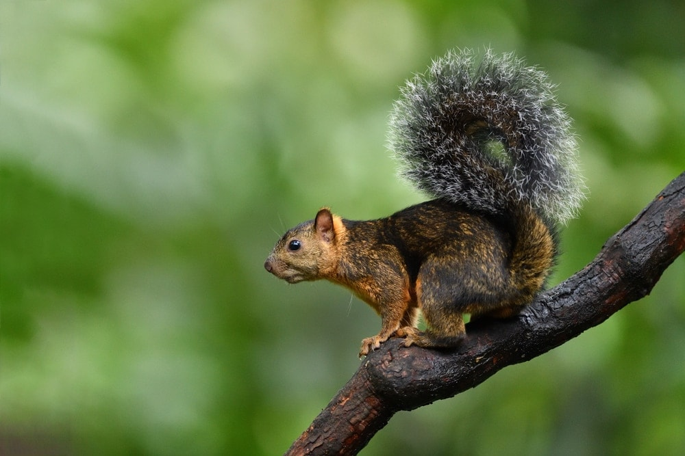 Bangs's mountain squirrel on a tree