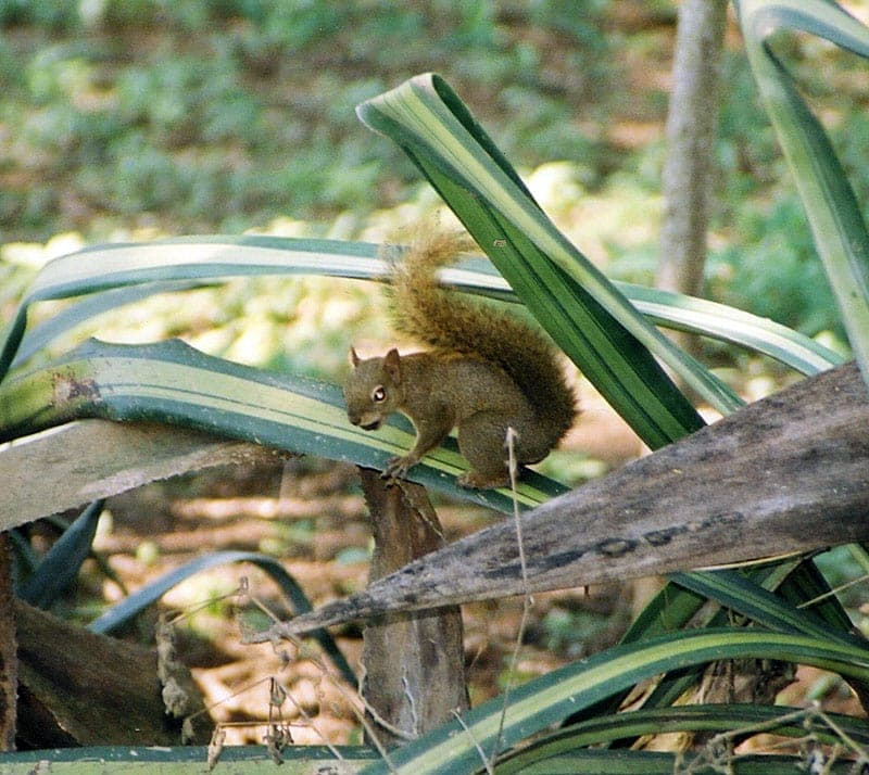 A bolivian squirrel on a plant