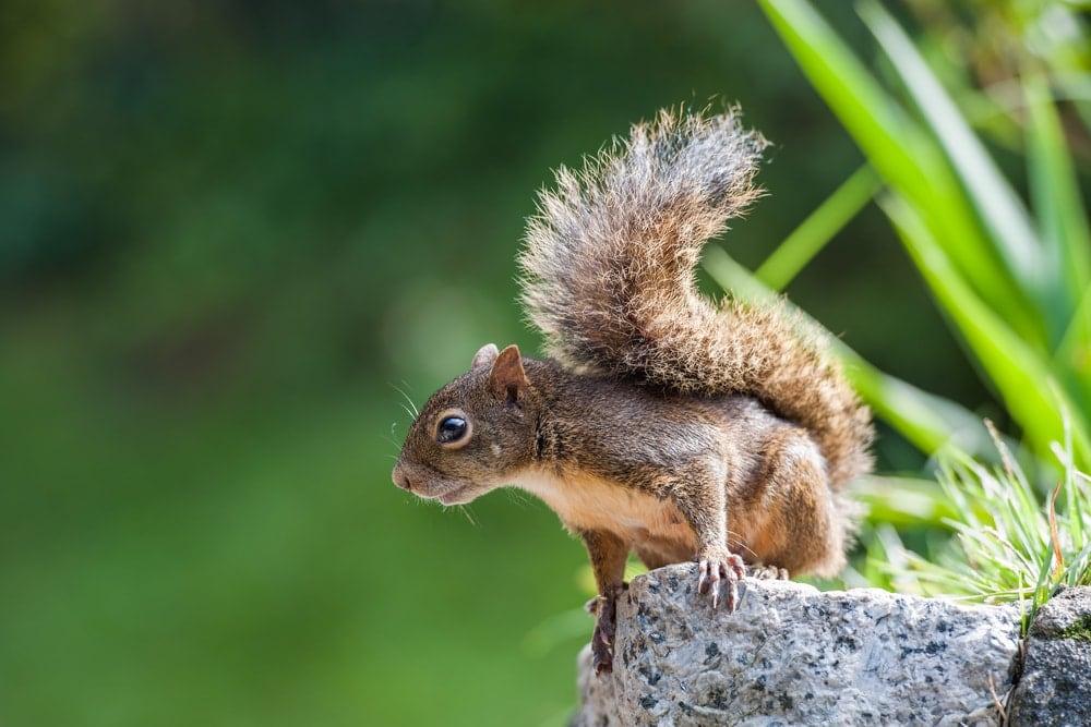 Brazilian squirrel on a rock